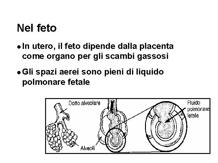 Nel feto l In utero, il feto dipende dalla placenta come organo per gli