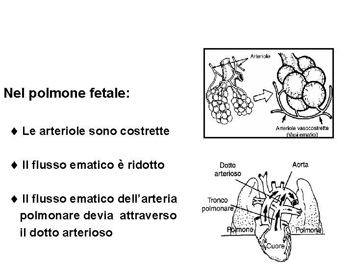Nel polmone fetale: Le arteriole sono costrette Il flusso ematico è ridotto Il flusso