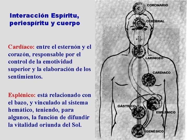Interacción Espíritu, periespíritu y cuerpo Cardíaco: entre el esternón y el corazón, responsable por