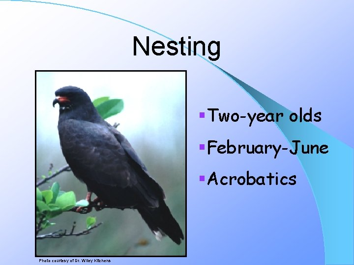 Nesting §Two-year olds §February-June §Acrobatics Photo courtesy of Dr. Wiley Kitchens