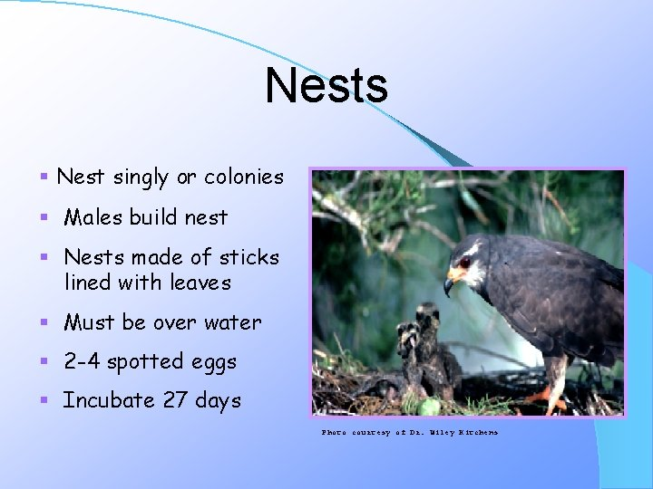 Nests § Nest singly or colonies § Males build nest § Nests made of