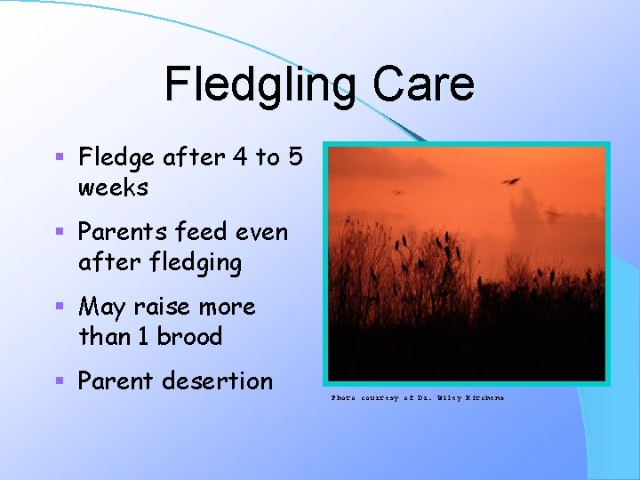 Fledgling Care § Fledge after 4 to 5 weeks § Parents feed even after