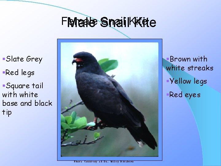 Female Snail Kite Male Snail Kite §Brown with white streaks §Slate Grey §Red legs