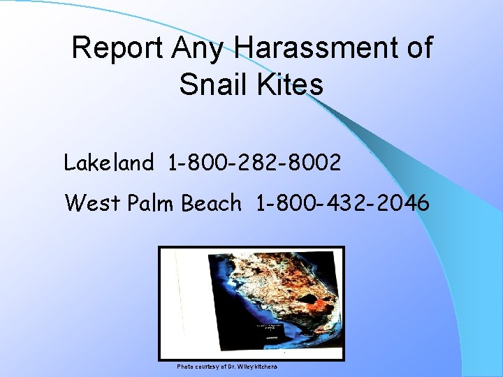 Report Any Harassment of Snail Kites Lakeland 1 -800 -282 -8002 West Palm Beach