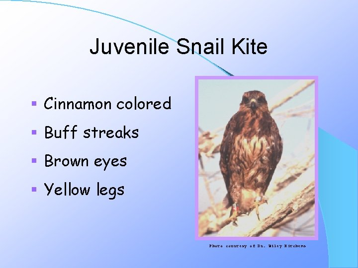 Juvenile Snail Kite § Cinnamon colored § Buff streaks § Brown eyes § Yellow