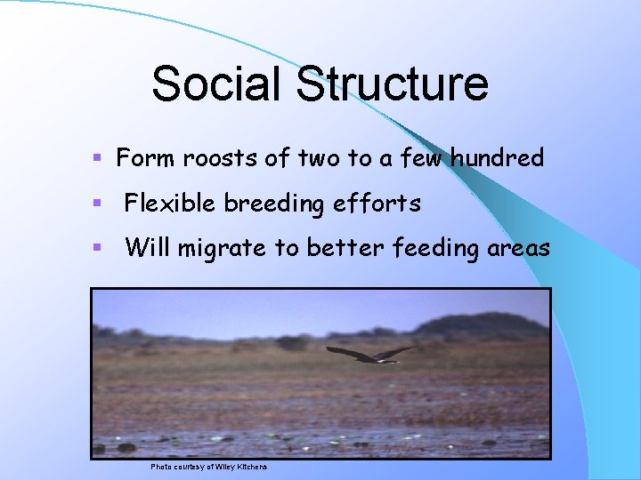 Social Structure § Form roosts of two to a few hundred § Flexible breeding