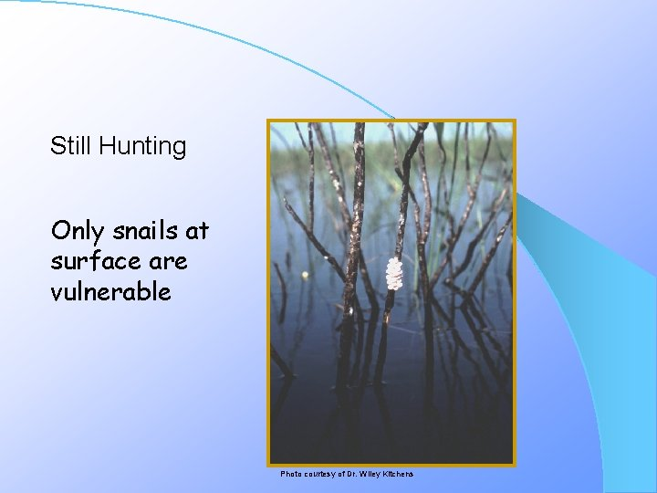 Still Hunting Only snails at surface are vulnerable Photo courtesy of Dr. Wiley Kitchens