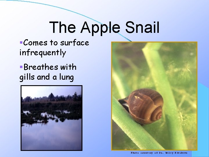 The Apple Snail §Comes to surface infrequently §Breathes with gills and a lung Photo