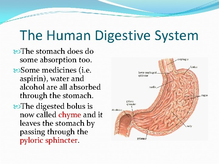 The Human Digestive System The stomach does do some absorption too. Some medicines (i.