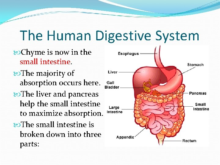 The Human Digestive System Chyme is now in the small intestine. The majority of