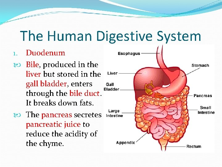 The Human Digestive System 1. Duodenum Bile, produced in the liver but stored in