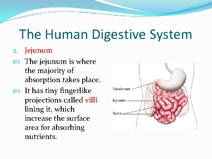 The Human Digestive System 2. Jejunum The jejunum is where the majority of absorption