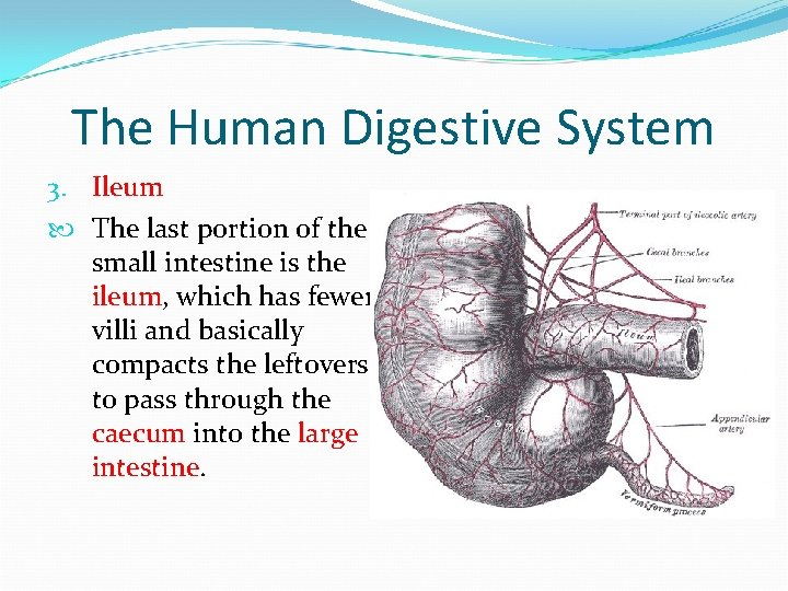 The Human Digestive System 3. Ileum The last portion of the small intestine is