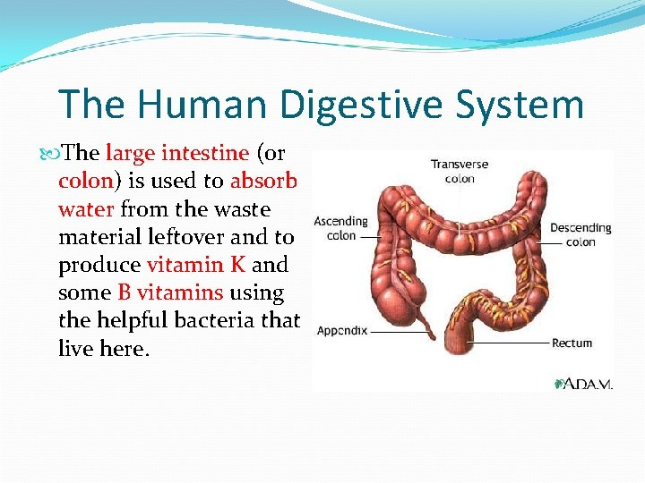 The Human Digestive System The large intestine (or colon) is used to absorb water