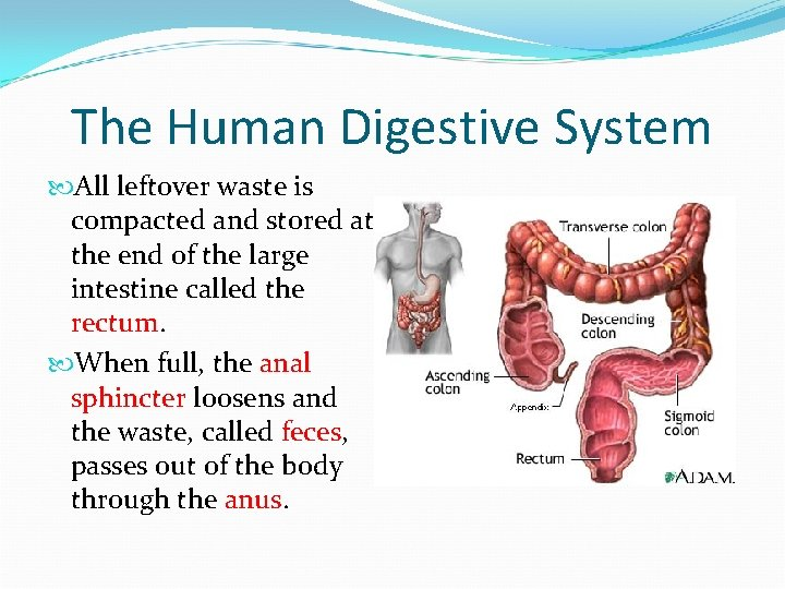 The Human Digestive System All leftover waste is compacted and stored at the end