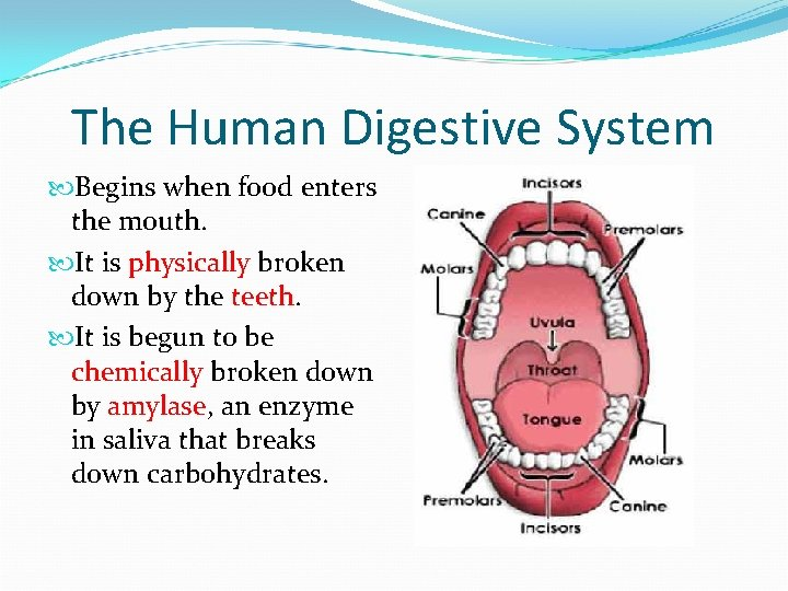 The Human Digestive System Begins when food enters the mouth. It is physically broken
