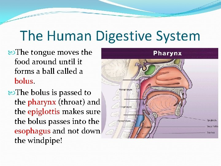 The Human Digestive System The tongue moves the food around until it forms a