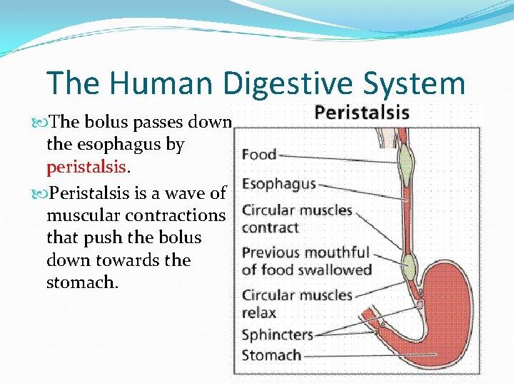 The Human Digestive System The bolus passes down the esophagus by peristalsis. Peristalsis is
