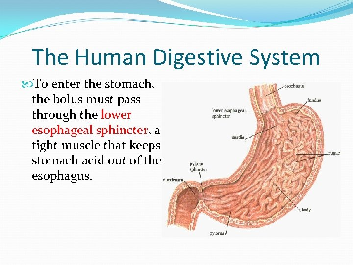 The Human Digestive System To enter the stomach, the bolus must pass through the