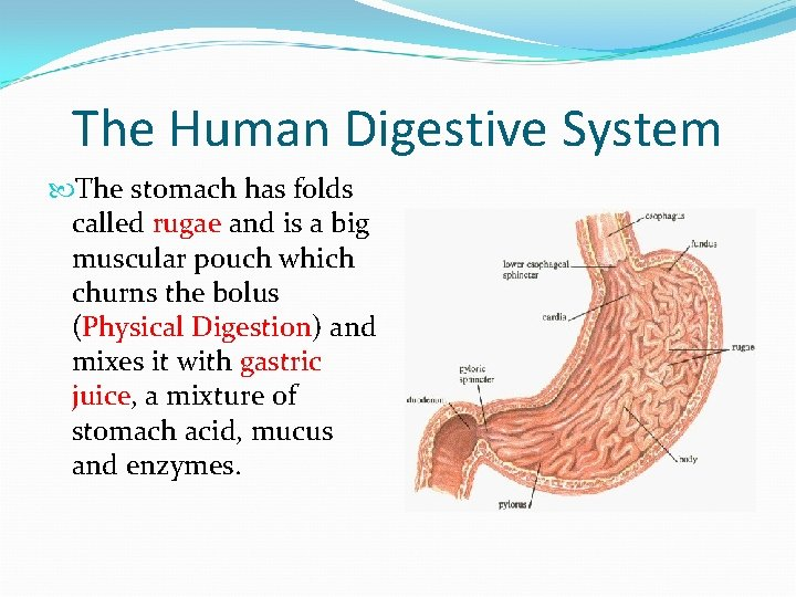 The Human Digestive System The stomach has folds called rugae and is a big