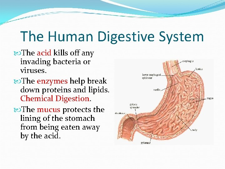 The Human Digestive System The acid kills off any invading bacteria or viruses. The