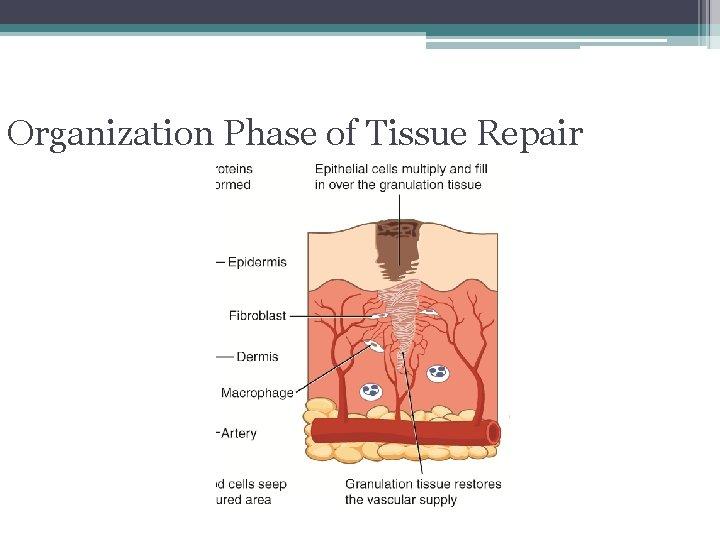 Organization Phase of Tissue Repair