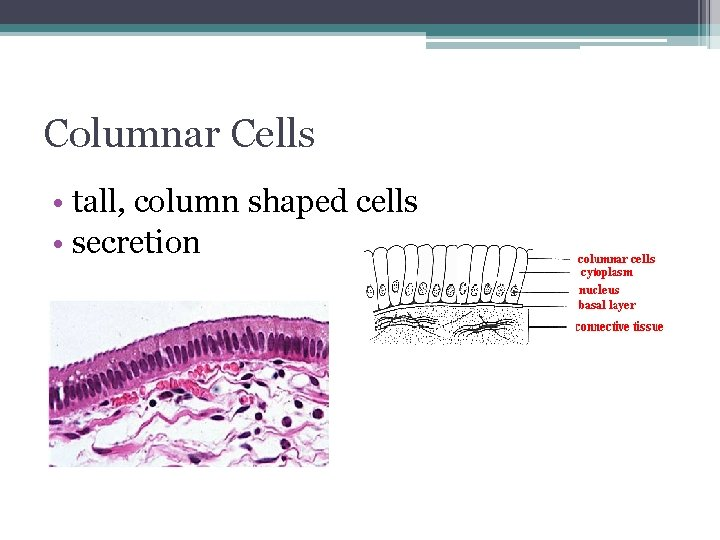 Columnar Cells • tall, column shaped cells • secretion