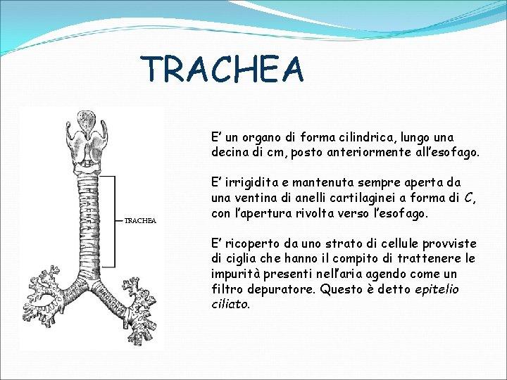 TRACHEA E' un organo di forma cilindrica, lungo una decina di cm, posto anteriormente