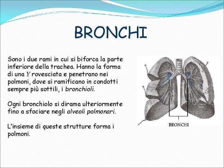 BRONCHI Sono i due rami in cui si biforca la parte inferiore della trachea.