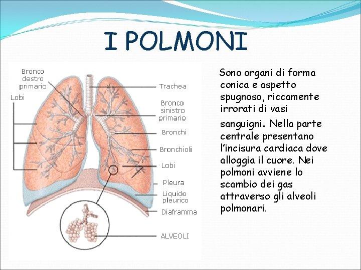 I POLMONI Sono organi di forma conica e aspetto spugnoso, riccamente irrorati di vasi