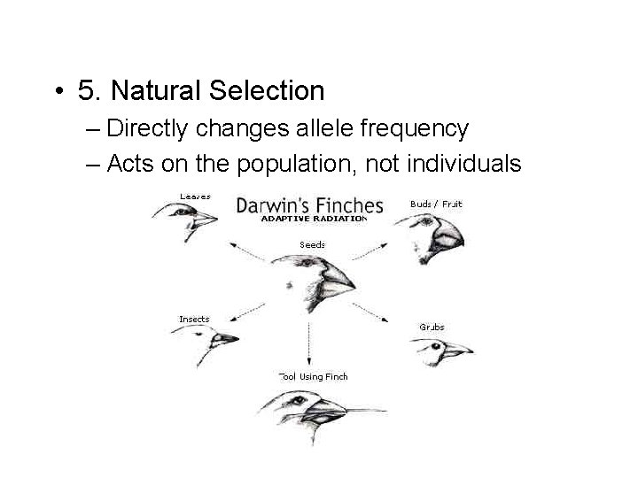• 5. Natural Selection – Directly changes allele frequency – Acts on the