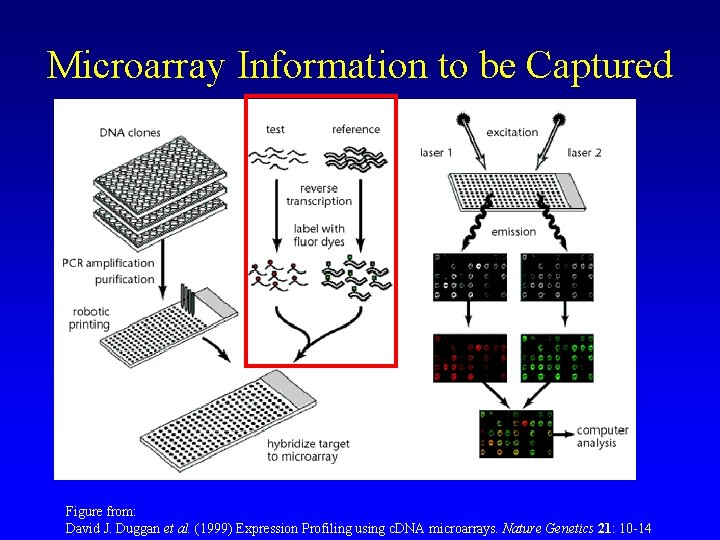 Microarray Information to be Captured Figure from: David J. Duggan et al. (1999) Expression