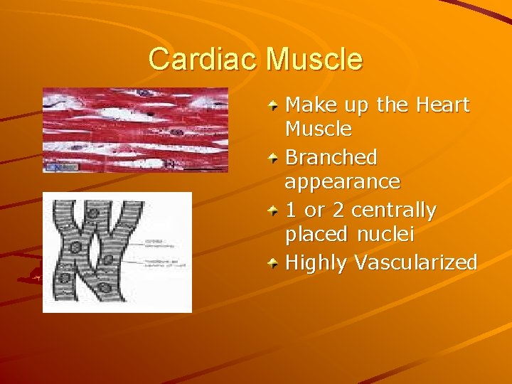 Cardiac Muscle Make up the Heart Muscle Branched appearance 1 or 2 centrally placed