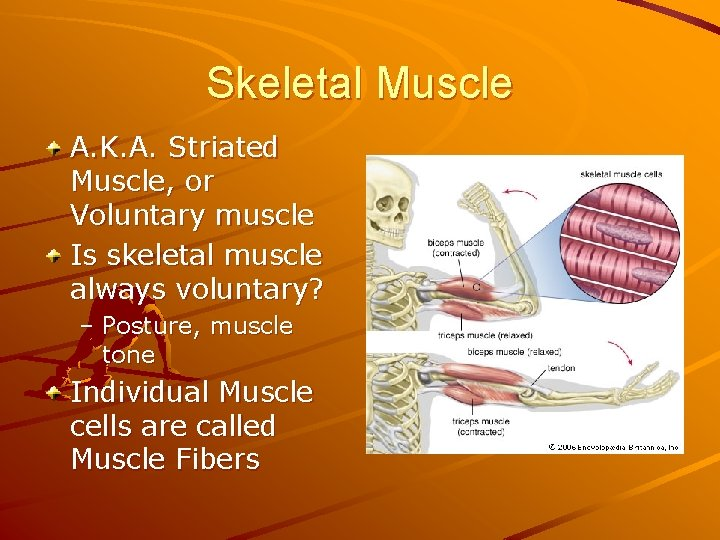 Skeletal Muscle A. K. A. Striated Muscle, or Voluntary muscle Is skeletal muscle always