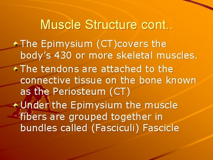 Muscle Structure cont. . The Epimysium (CT)covers the body's 430 or more skeletal muscles.