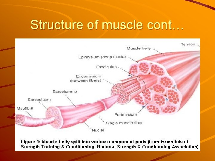 Structure of muscle cont…