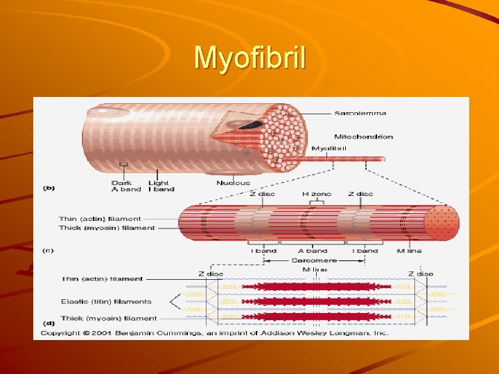 Myofibril
