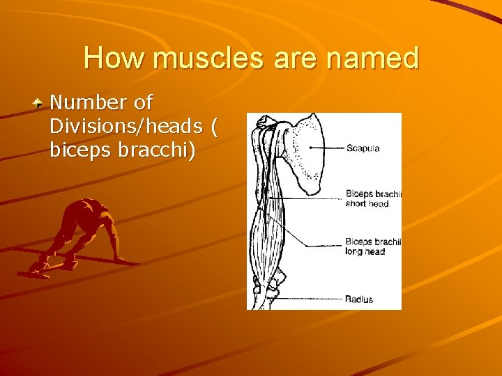 How muscles are named Number of Divisions/heads ( biceps bracchi)