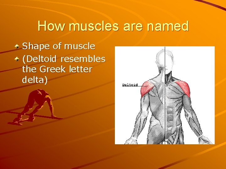 How muscles are named Shape of muscle (Deltoid resembles the Greek letter delta)