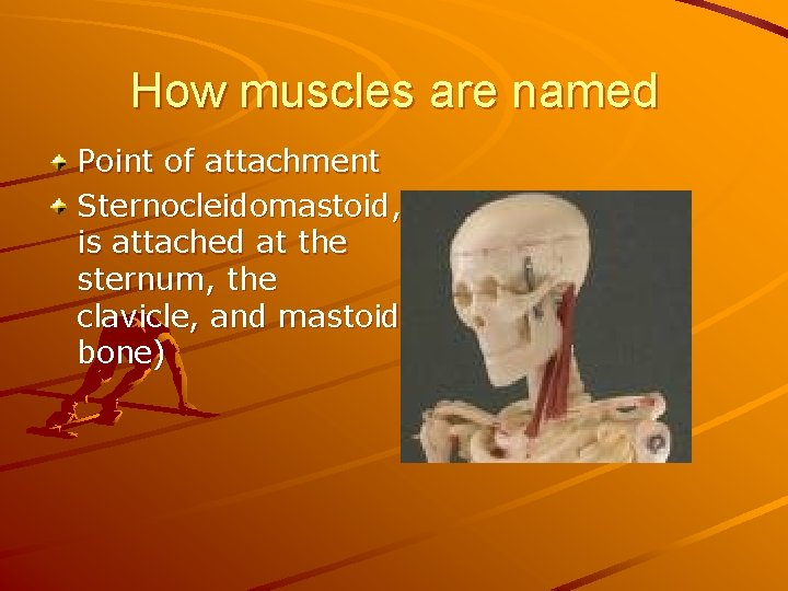 How muscles are named Point of attachment Sternocleidomastoid, is attached at the sternum, the