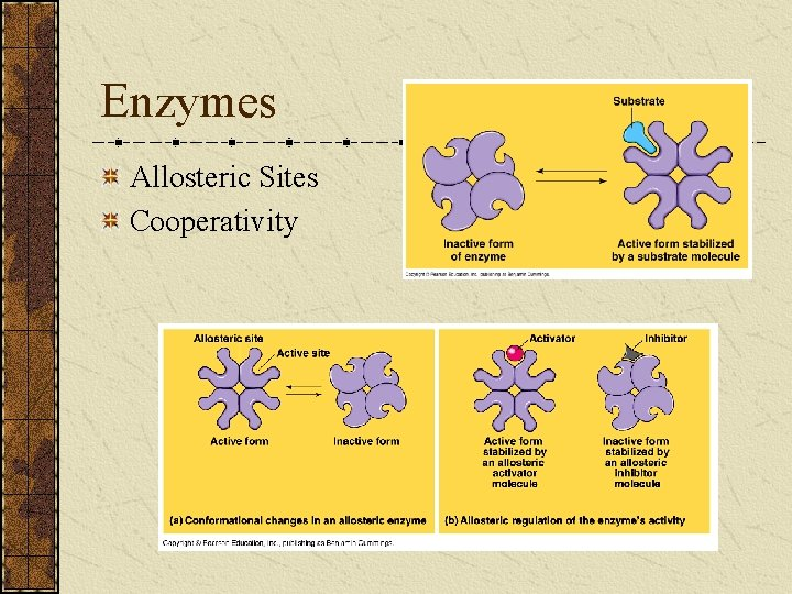 Enzymes Allosteric Sites Cooperativity