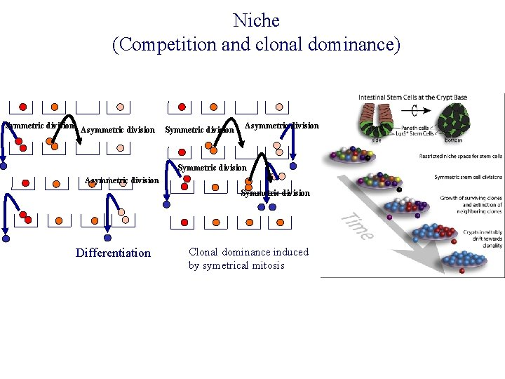 Niche (Competition and clonal dominance) Symmetric division Asymmetric division Symmetric division Differentiation Clonal dominance