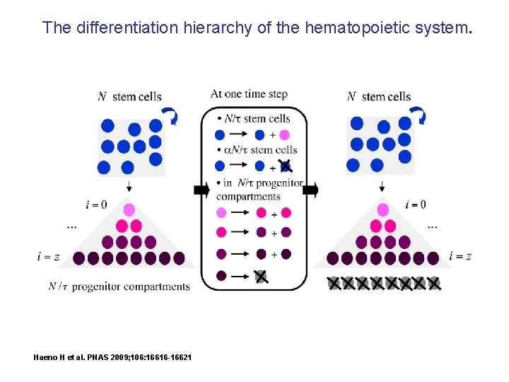 The differentiation hierarchy of the hematopoietic system. Haeno H et al. PNAS 2009; 106: