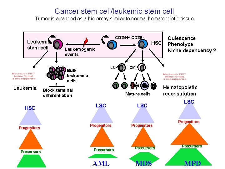 Cancer stem cell/leukemic stem cell Tumor is arranged as a hierarchy similar to normal