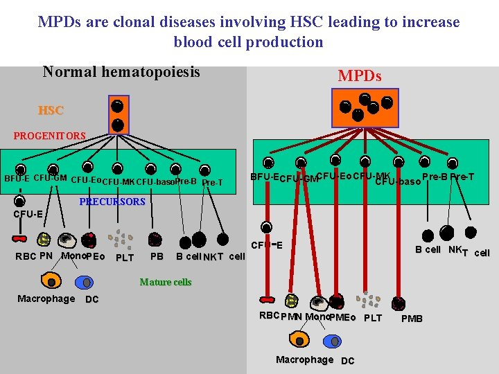 MPDs are clonal diseases involving HSC leading to increase blood cell production Normal hematopoiesis