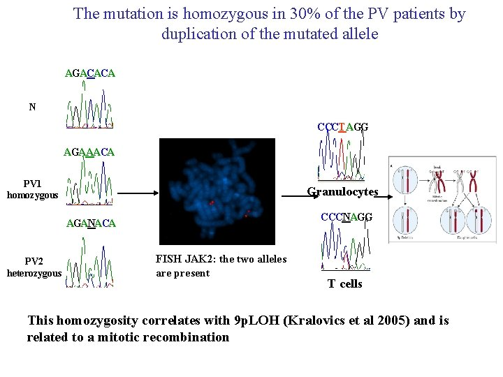 The mutation is homozygous in 30% of the PV patients by duplication of the