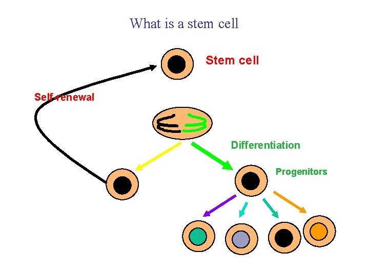 What is a stem cell Self-renewal Differentiation Progenitors