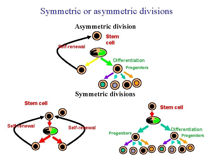 Symmetric or asymmetric divisions Asymmetric division Self-renewal Stem cell Differentiation Progenitors Symmetric divisions Stem