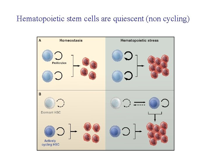 Hematopoietic stem cells are quiescent (non cycling)