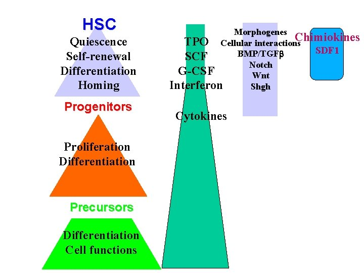 HSC Quiescence Self-renewal Differentiation Homing Progenitors Proliferation Differentiation Precursors Differentiation Cell functions Morphogenes TPO